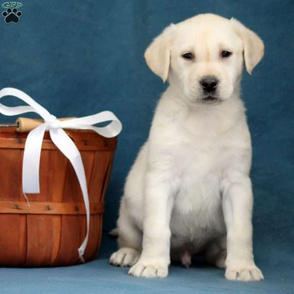 Mack, Yellow Labrador Retriever Puppy