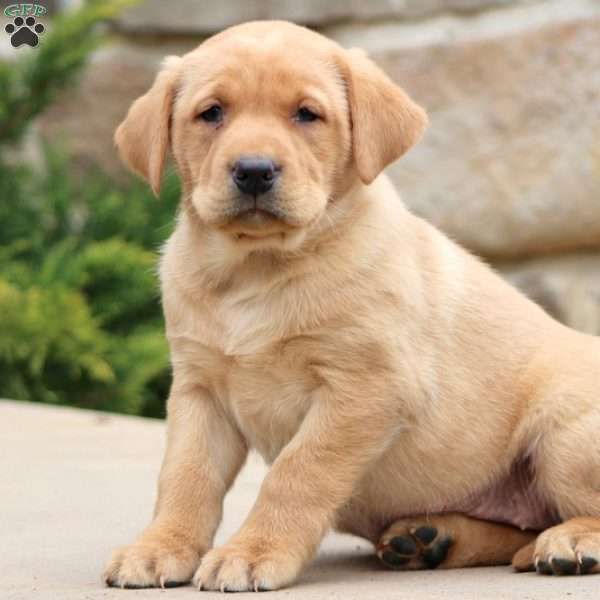 Macy, Yellow Labrador Retriever Puppy