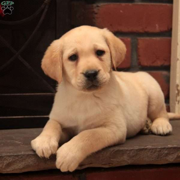 Marley-English Lab, Yellow Labrador Retriever Puppy