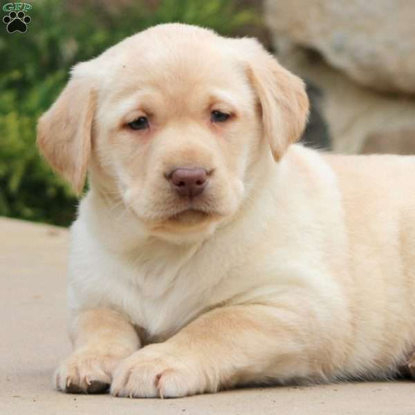 Marley, Yellow Labrador Retriever Puppy
