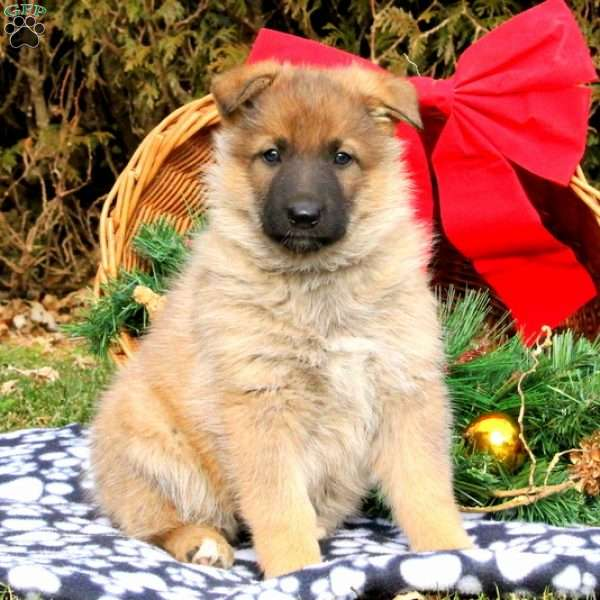 Mary Anne, German Shepherd Puppy