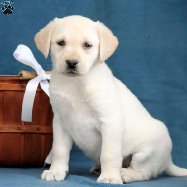 Maude, Yellow Labrador Retriever Puppy