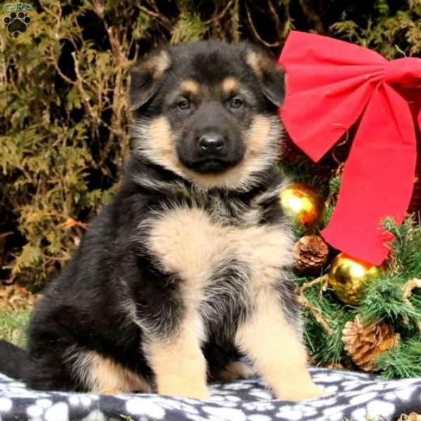 Mel, German Shepherd Puppy