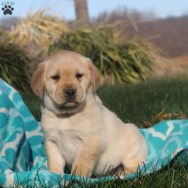 Memphis, Golden Labrador Puppy