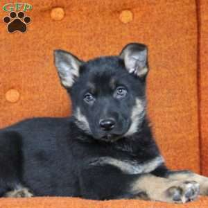 Micky, German Shepherd Puppy