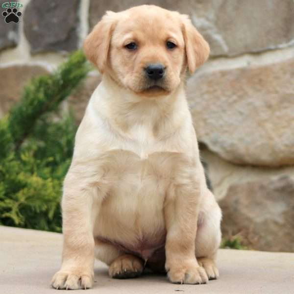 Mini, Yellow Labrador Retriever Puppy