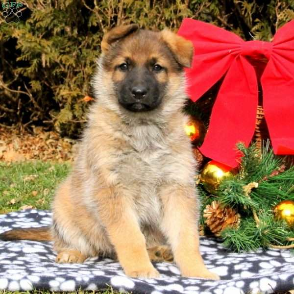 Missy, German Shepherd Puppy