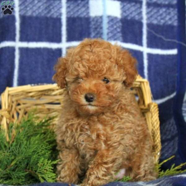 Nadene, Toy Poodle Puppy
