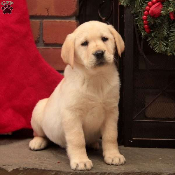 Nutmeg-English Lab, Yellow Labrador Retriever Puppy