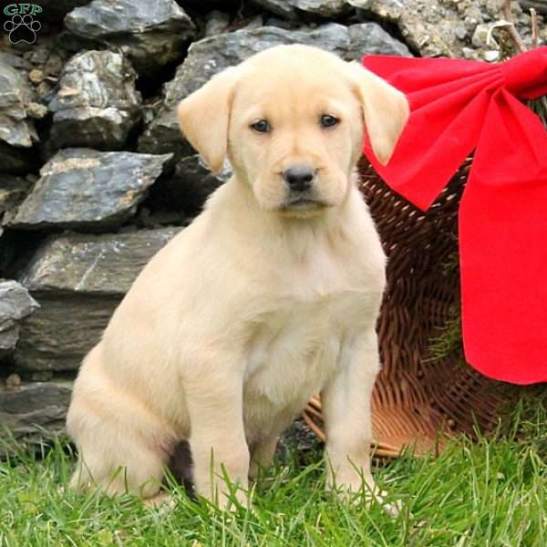 Odell, Yellow Labrador Retriever Puppy