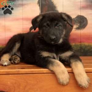 Ona, German Shepherd Puppy