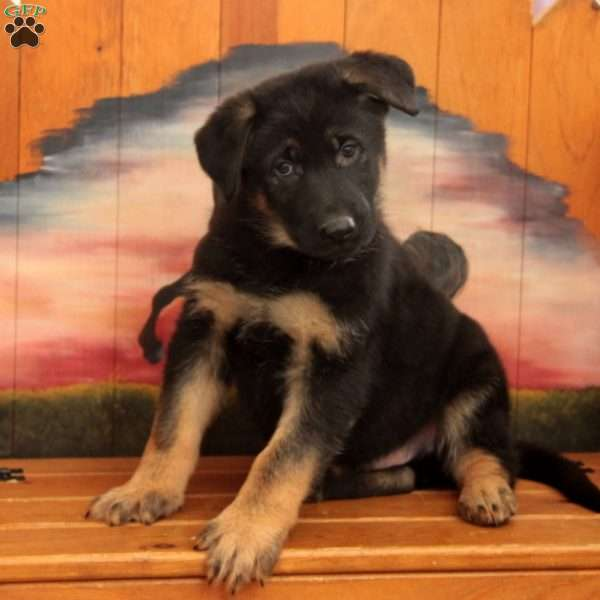Oscar, German Shepherd Puppy
