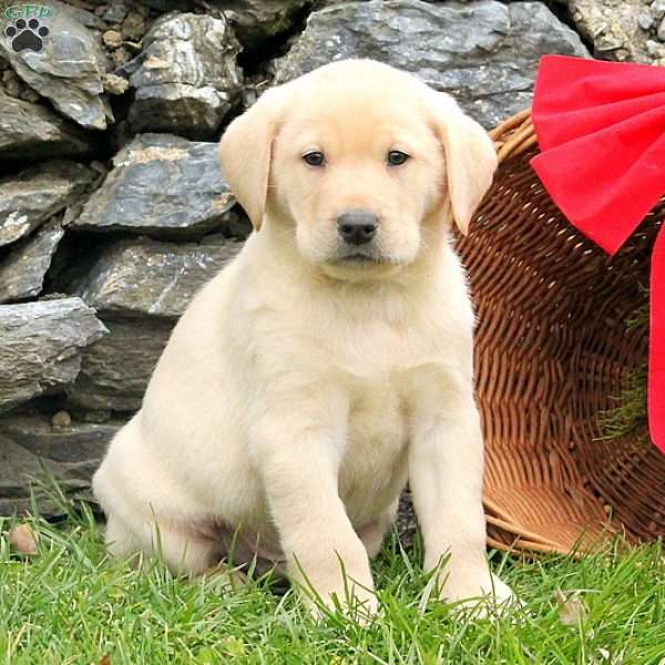 Oz, Yellow Labrador Retriever Puppy