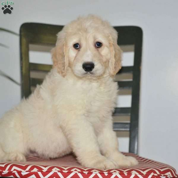 Ozzy, Goldendoodle Puppy