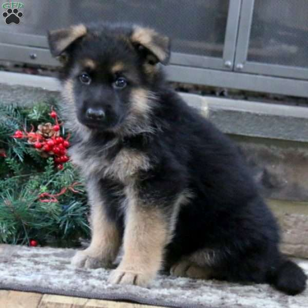 Patrick, German Shepherd Puppy
