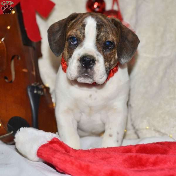 Poinsettia, Beabull Puppy