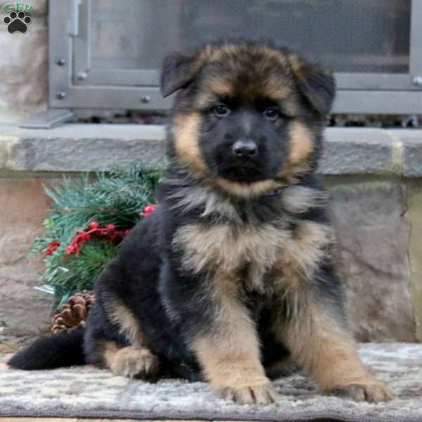 Pope, German Shepherd Puppy