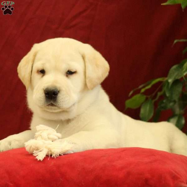 Prince, Yellow Labrador Retriever Puppy
