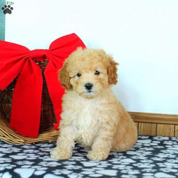 Raleigh, Miniature Poodle Puppy