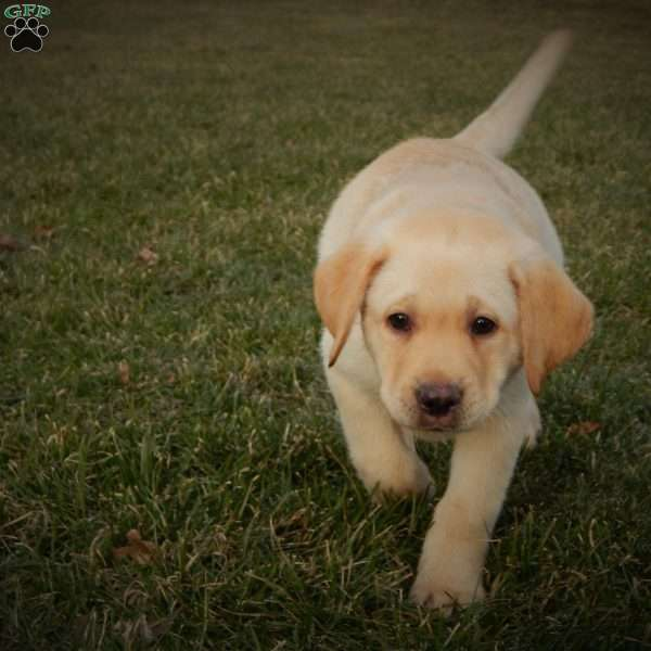 Ranger, Yellow Labrador Retriever Puppy