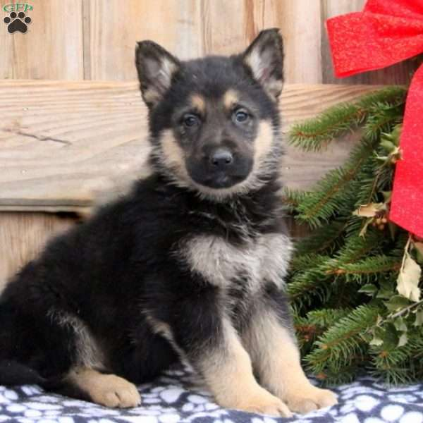 Rich, German Shepherd Puppy