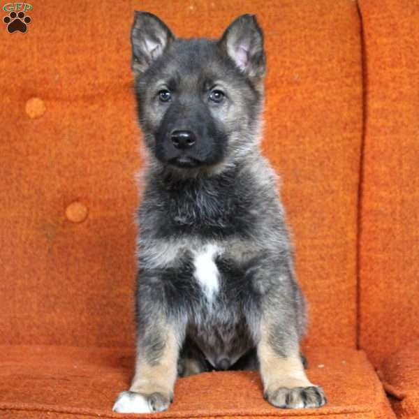 Rocky, German Shepherd Puppy