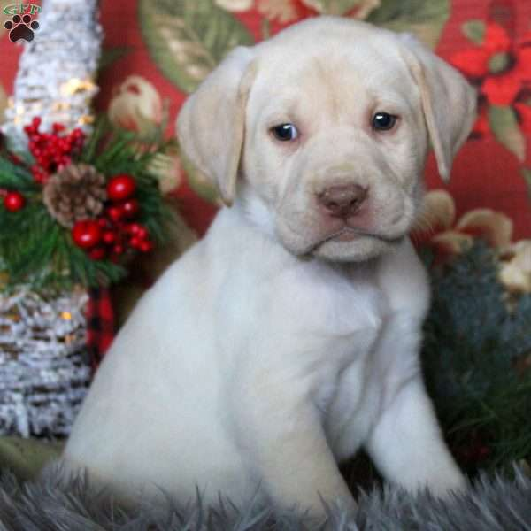 Rover, Yellow Labrador Retriever Puppy