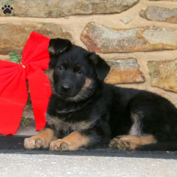 Rex, German Shepherd Puppy