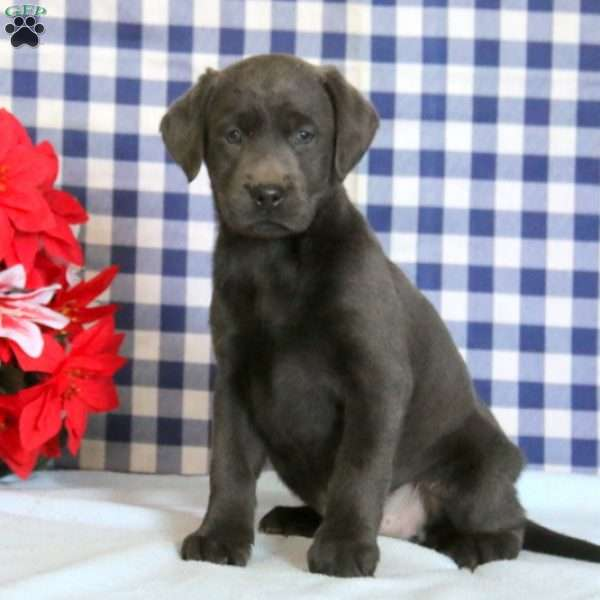 Sara, Charcoal Labrador Retriever Puppy