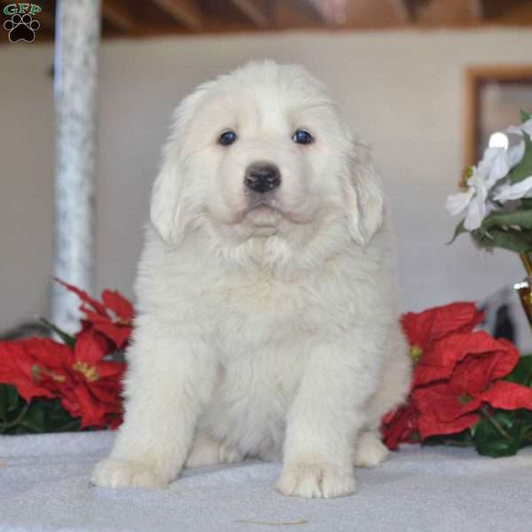 Snowball Great Pyrenees Puppy