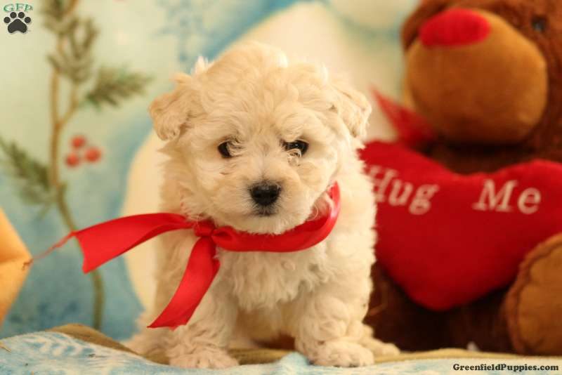 snowball lhasa poo puppy for sale in pennsylvania