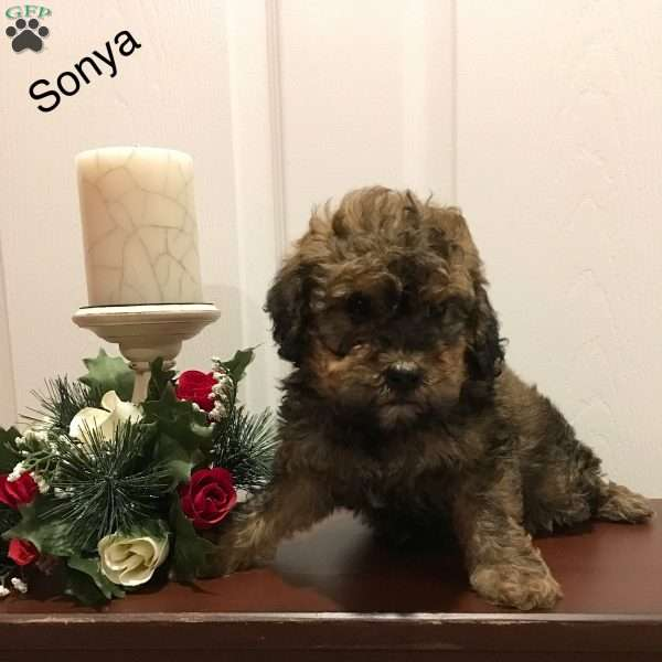 Sonya, Toy Poodle Puppy