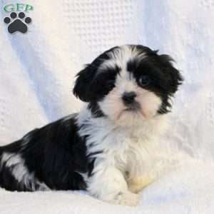 shih tzu puppies for sale in philadelphia shih tzu puppies for sale in de md ny nj philly dc and 3234