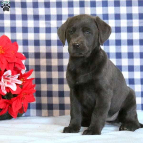 Sweets, Charcoal Labrador Retriever Puppy