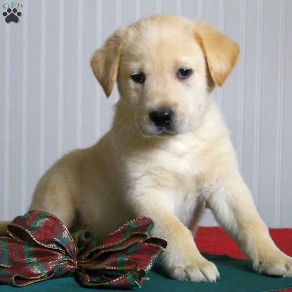 Timber, Yellow Labrador Retriever Puppy