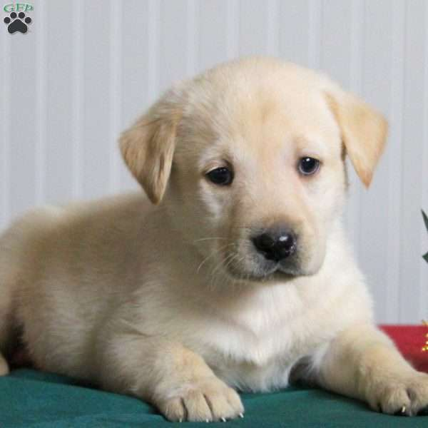 Trigger, Yellow Labrador Retriever Puppy