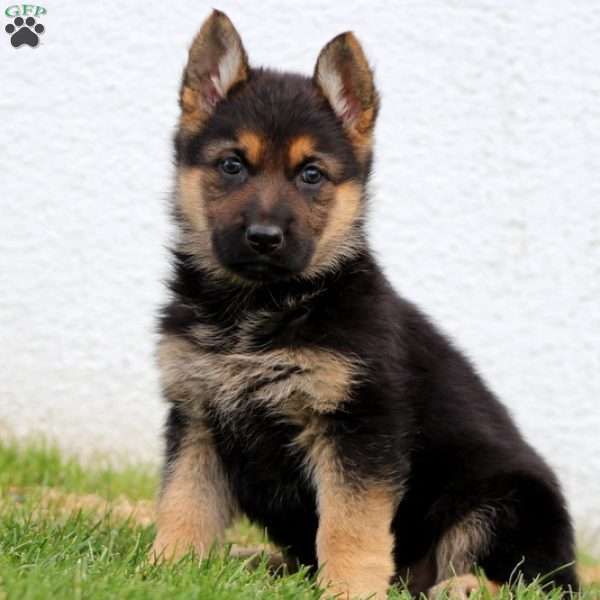 Trina, German Shepherd Puppy