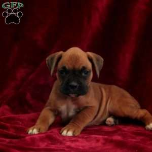 Truly, Boxer Puppy