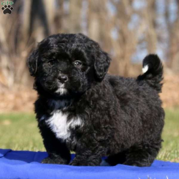 Tuffy, Bernedoodle-Miniature Puppy