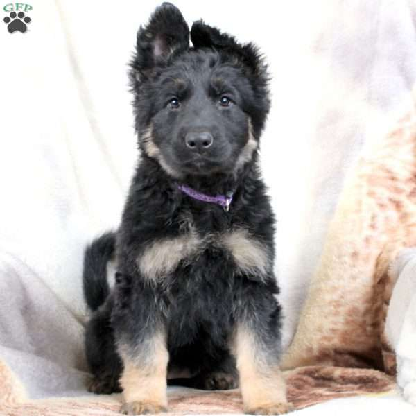 Twinkle, German Shepherd Puppy