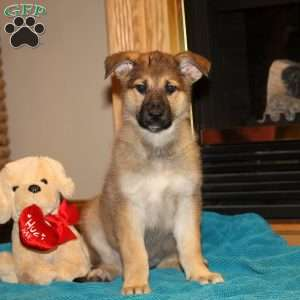Zena, German Shepherd Puppy