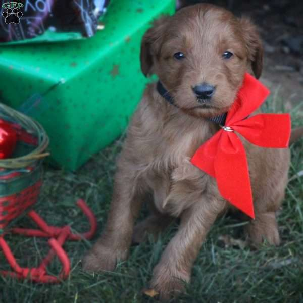 Rudolph, Goldendoodle Puppy