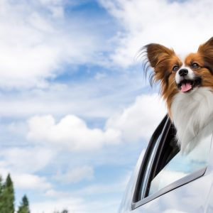 new jersey dog-friendly travel guide - small brown and white dog in a car