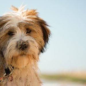 tibetan terrier puppy at beach