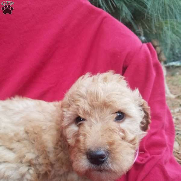 Bailey, Goldendoodle Puppy