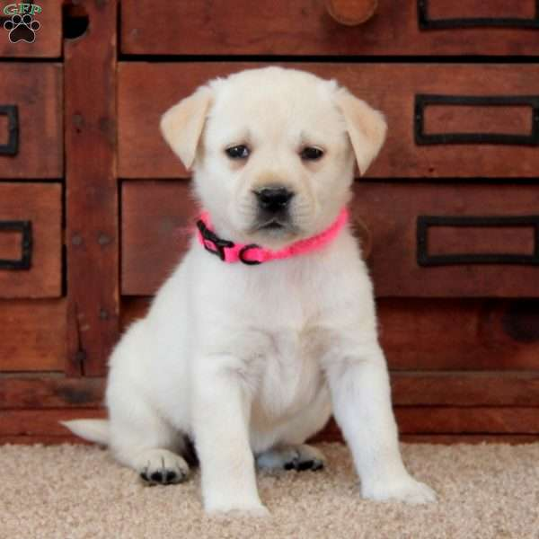Bella-English Lab, Yellow Labrador Retriever Puppy