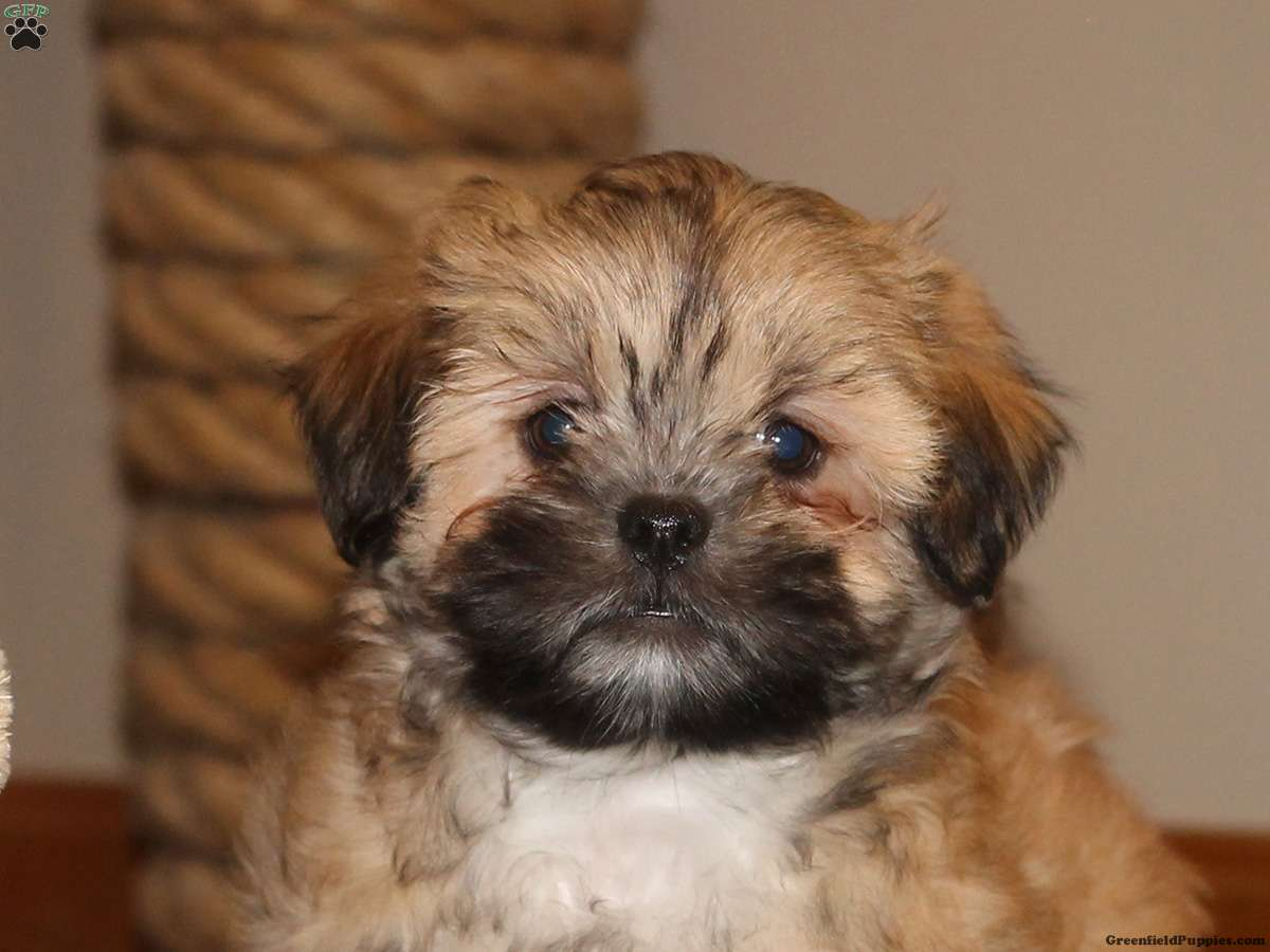 puppies for sale in delaware benny lhasa apso puppy for sale in delaware 5211