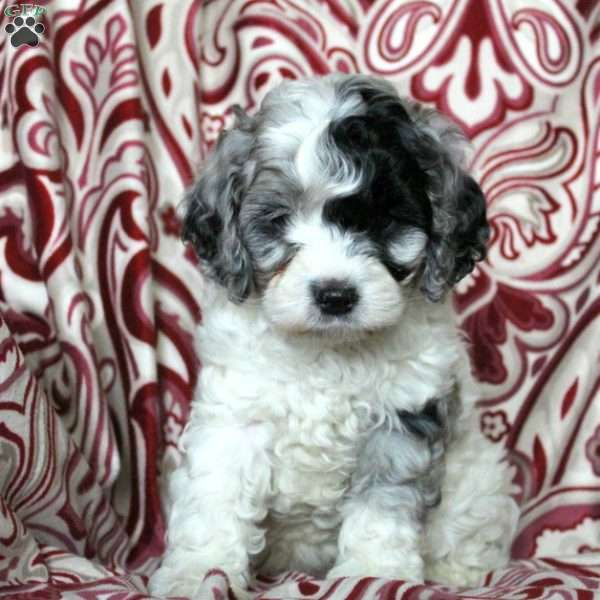 Cockapoo shihpoo breeders maryland — pic 3