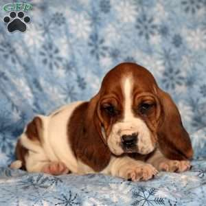 Basett Hound Puppies Goldenacresdogs