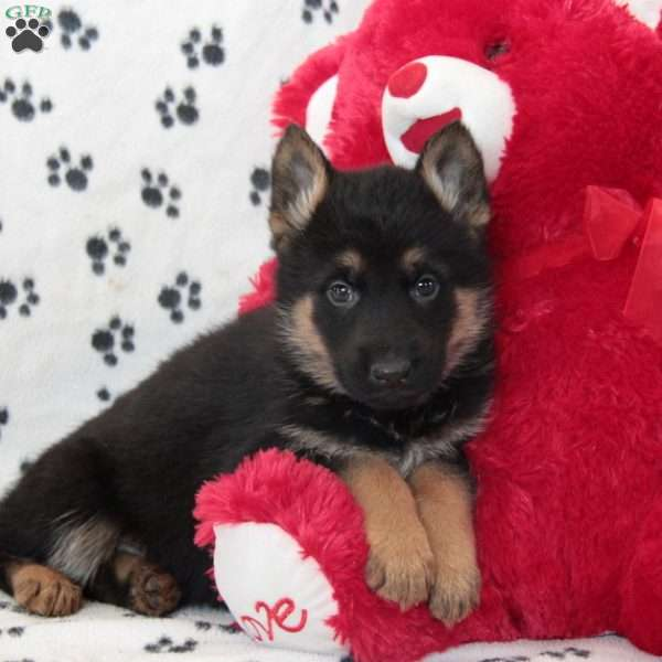 Cora Sue, German Shepherd Puppy